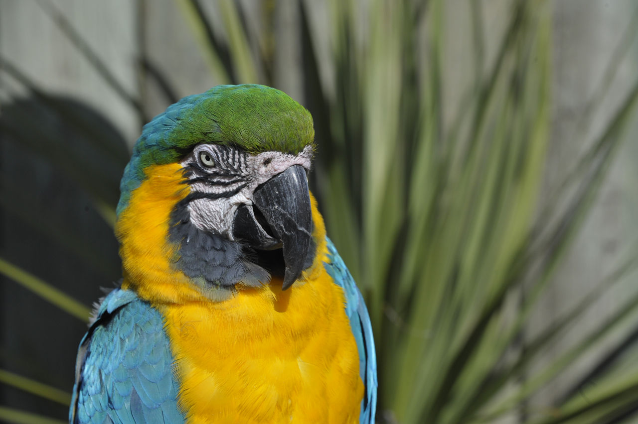 A blue and gold macaw sitting up straight with droopy eyes looking towards the camera
