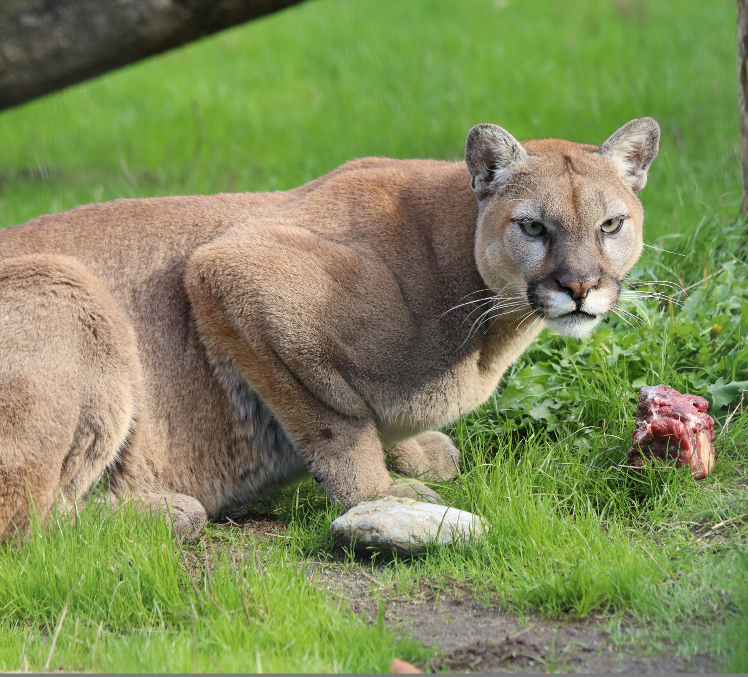 cougar crouching contemplating food