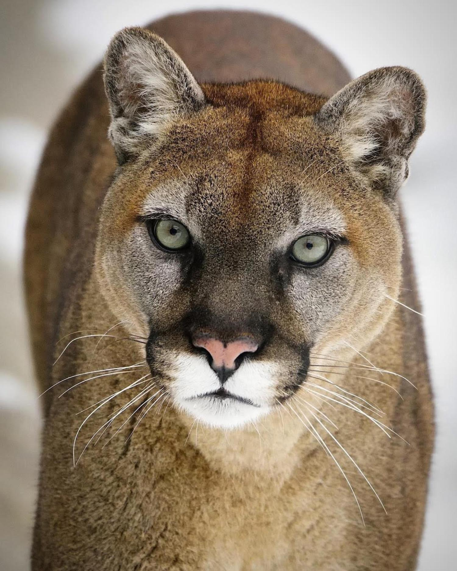 cougar looking into the camera
