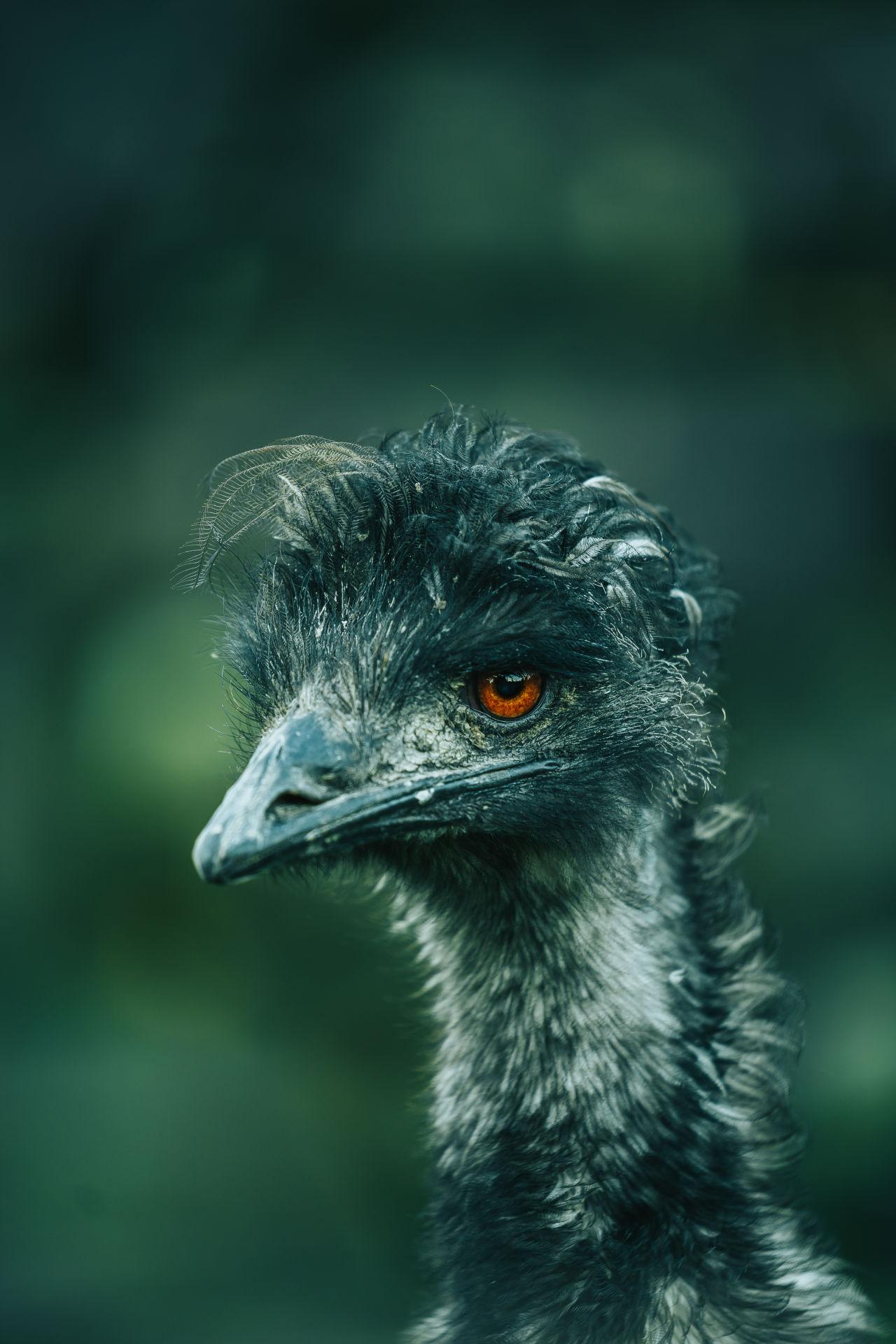 emu on a dark background, beak facing left