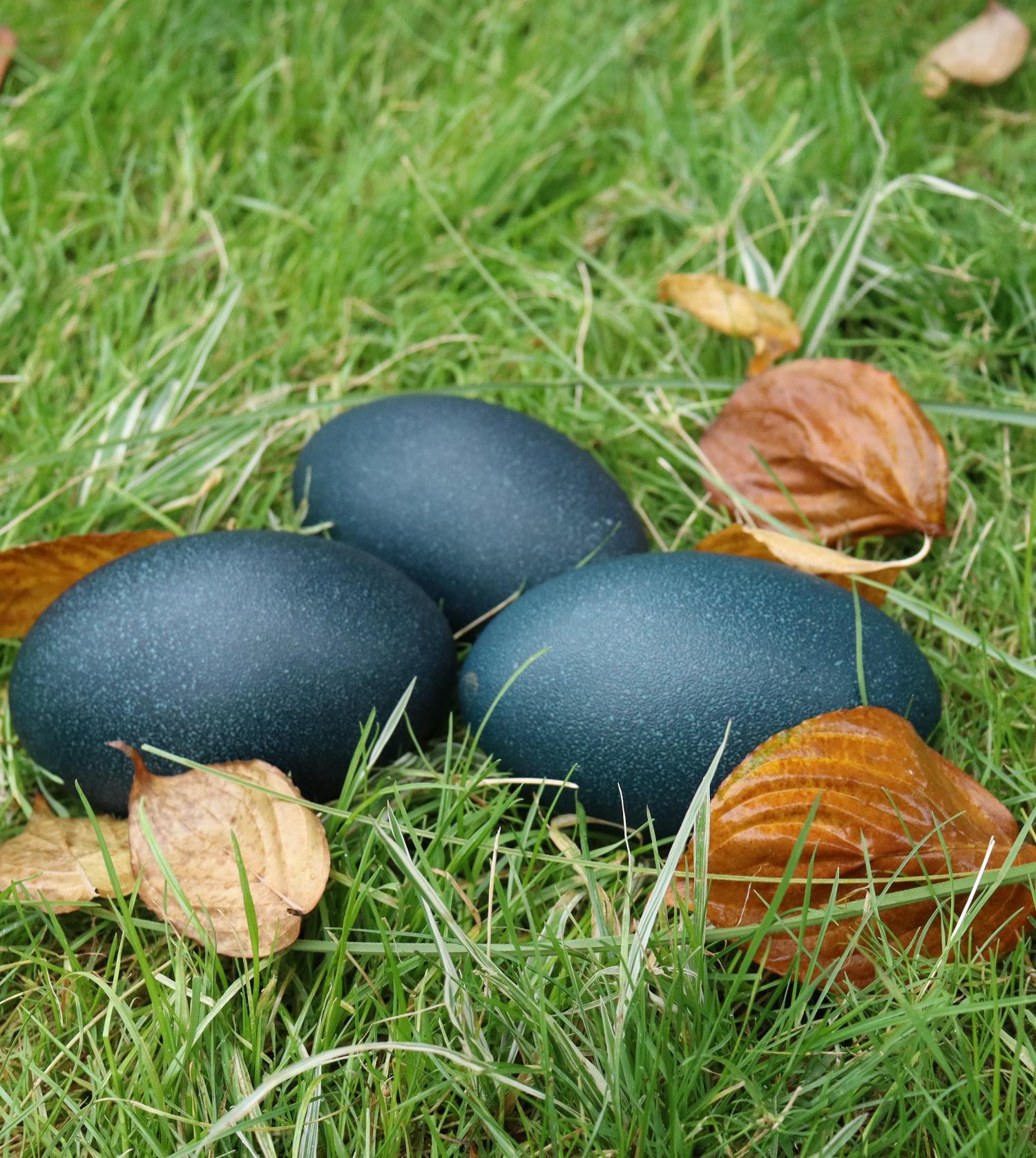 blue emus eggs