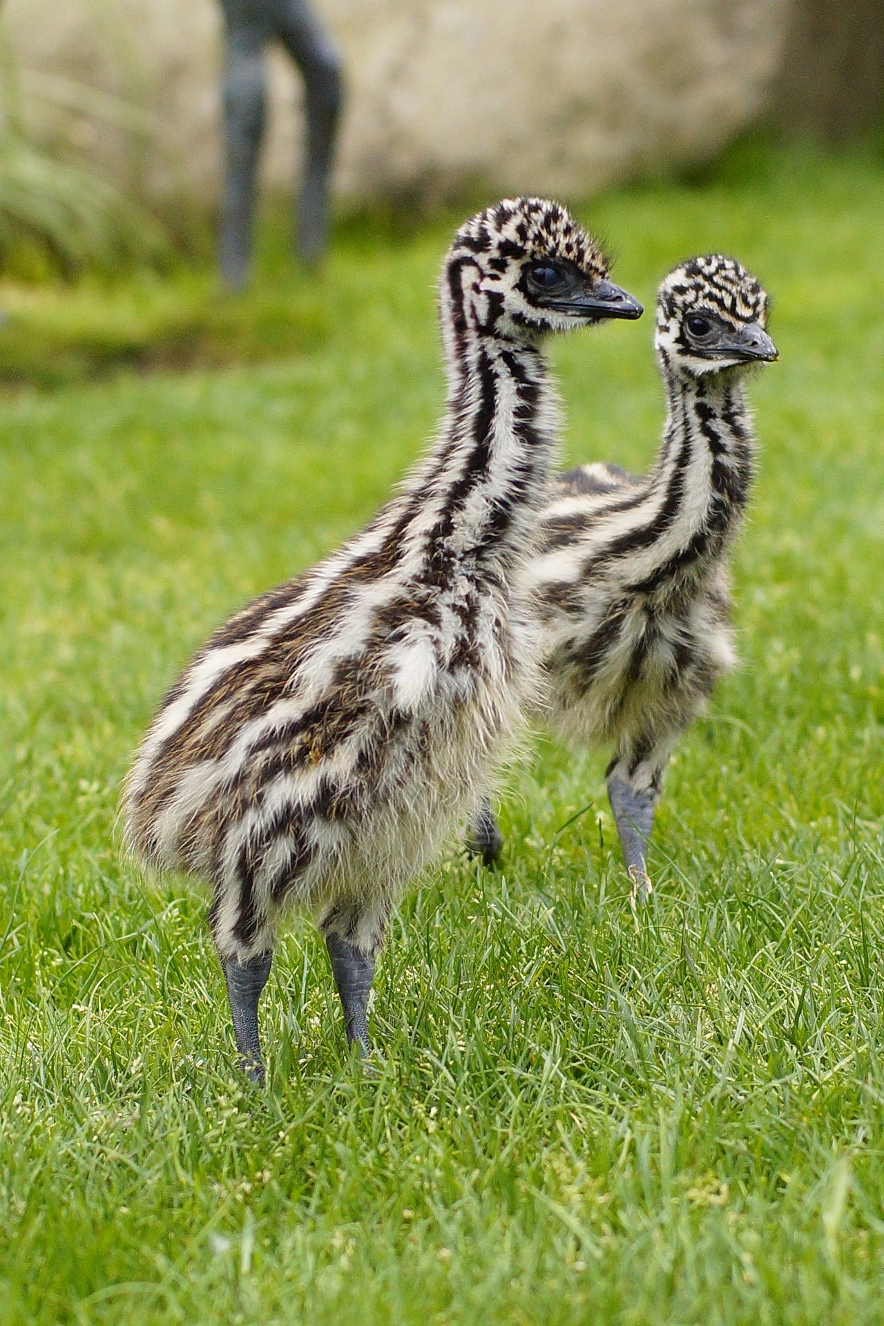 Two emu chicks standing in low green grass