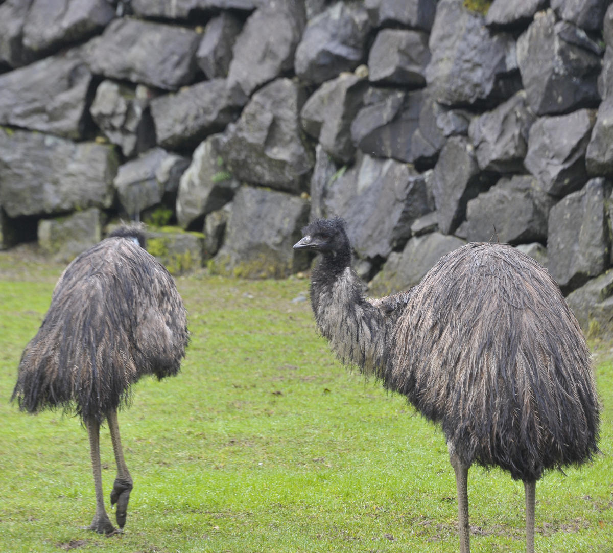 two emus in front of stone wall on grass