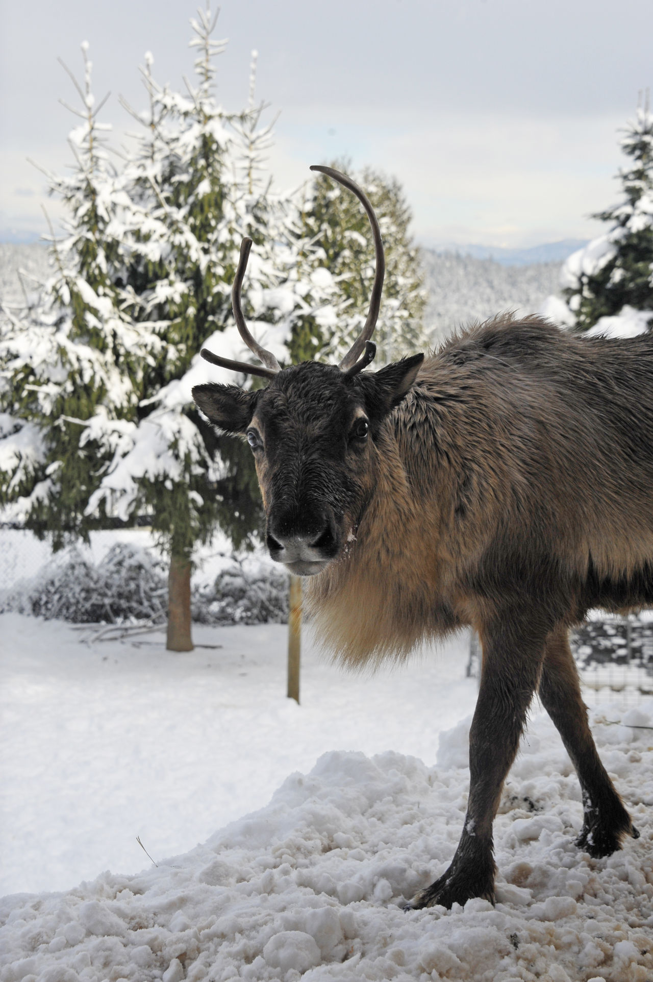 A furry male reindeer with antlers standing in the snow and looking to the right into the camera