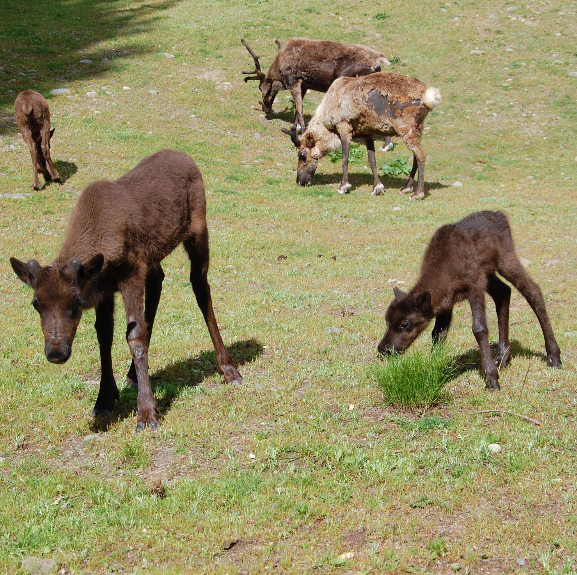 several reindeer with their young