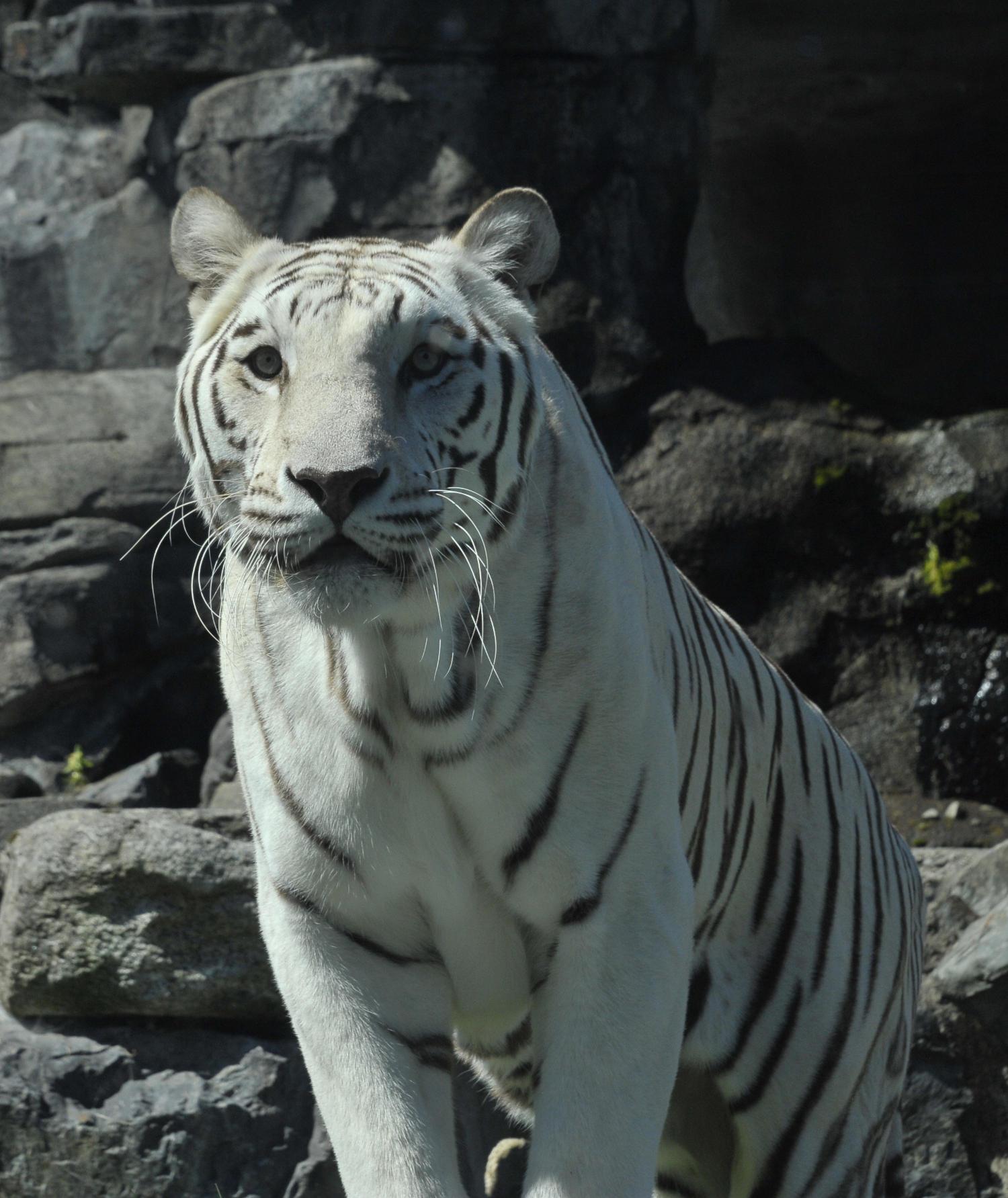 bengal tiger looking at camera