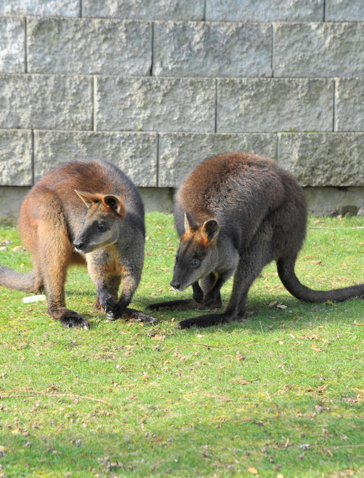 Two wallabies with their heads down