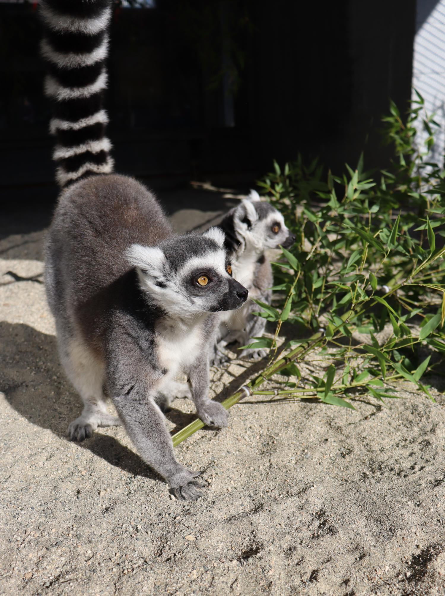 ring tailed lemur conservation