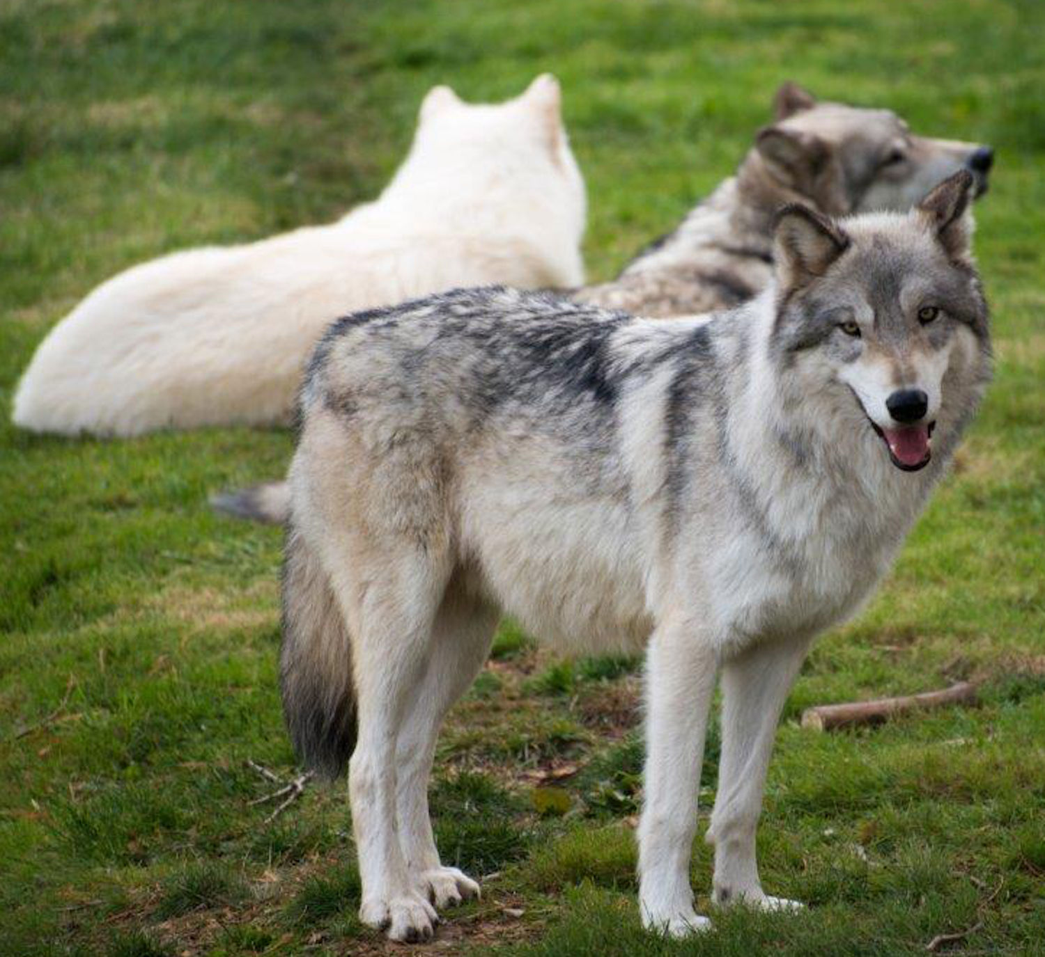 two wolves in profile standing front of prostrate albino wolf