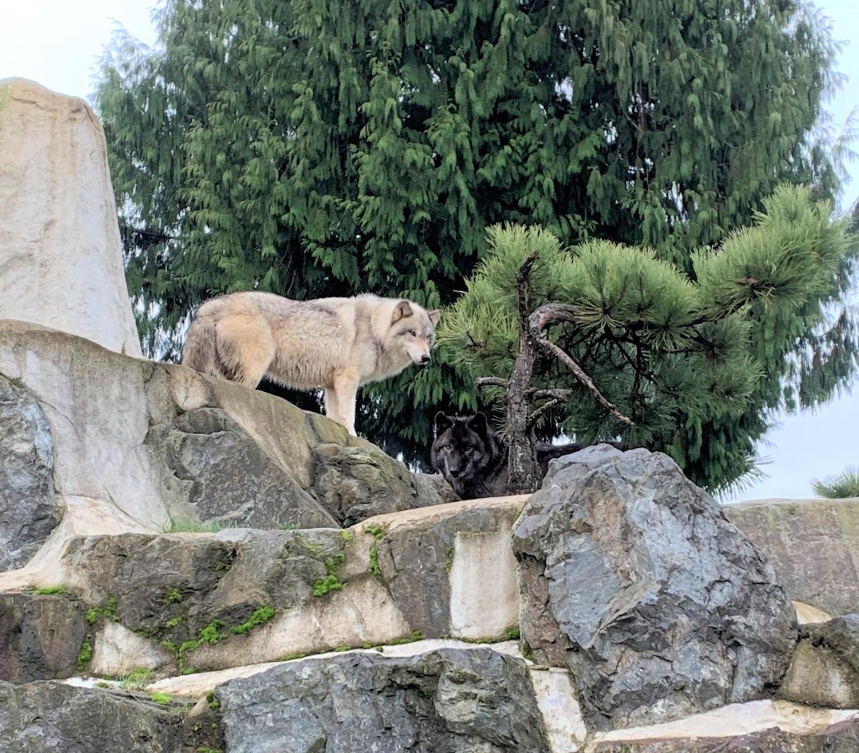 browinsh wolf looking down from top of rocks