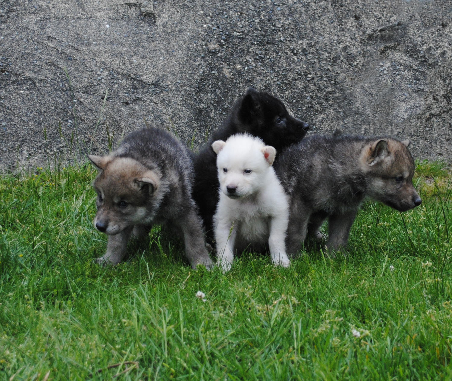 wolf cubs in front of grey rock