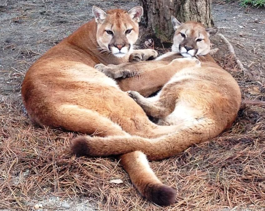 cougars lying down together