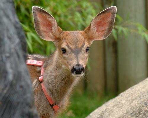 mule deer looking into the camera
