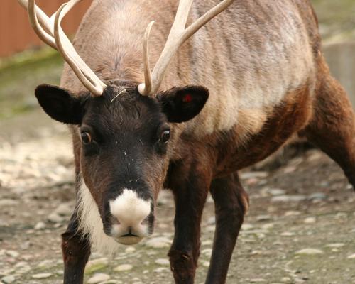 reindeer looking into the camera