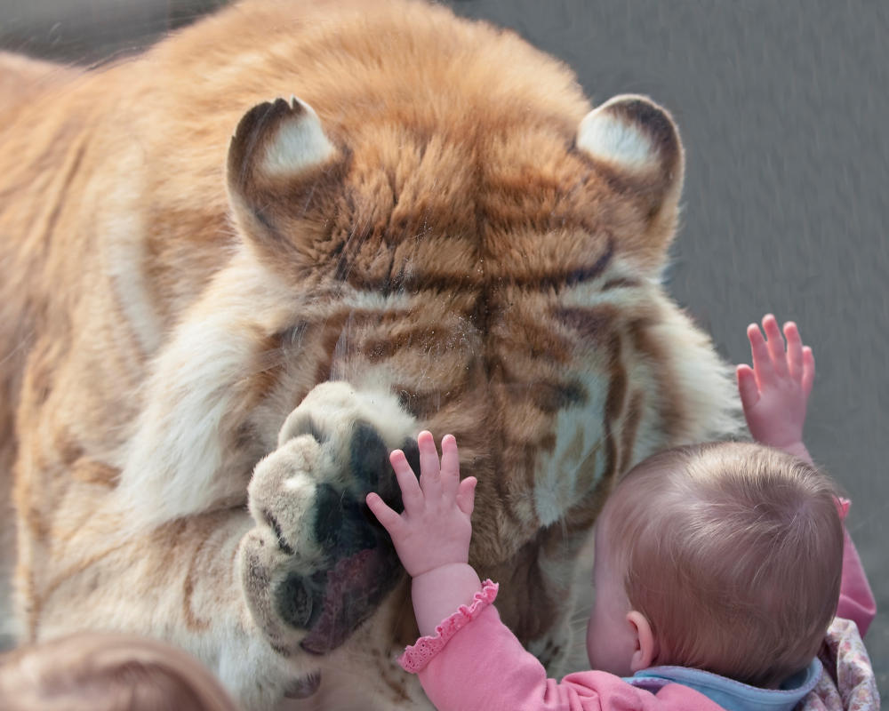 little boy up against glass with lion on the other side