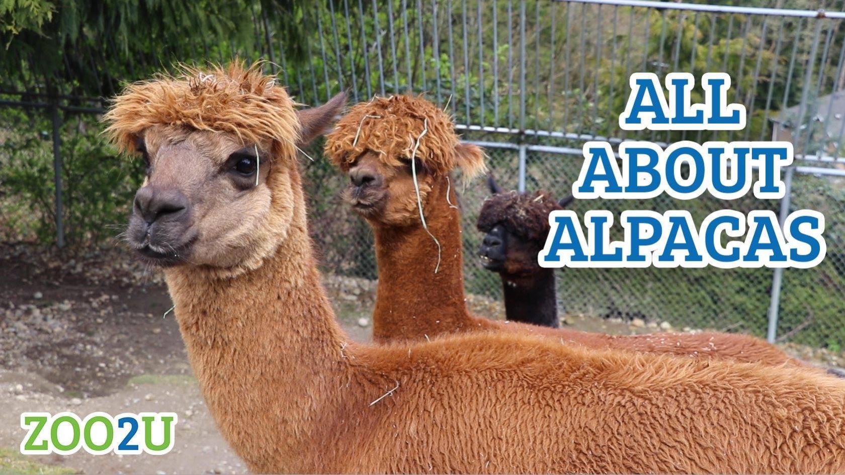 all about alpacas button