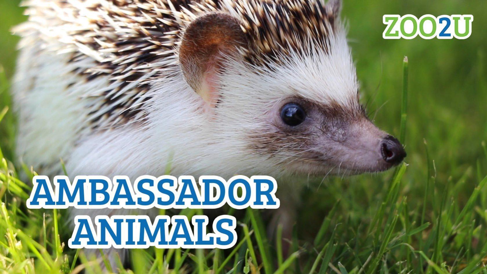 ambassador animals button