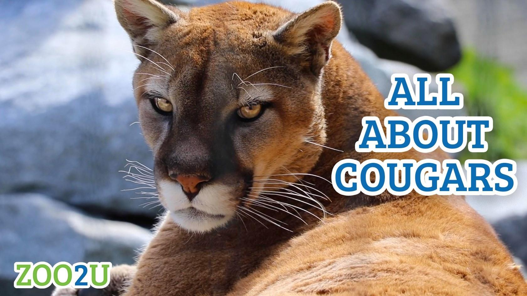all about cougars button