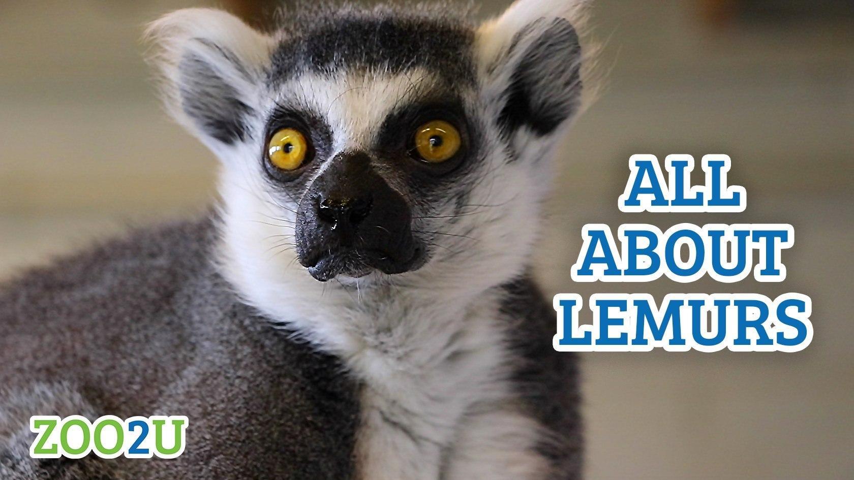 all about lemurs button