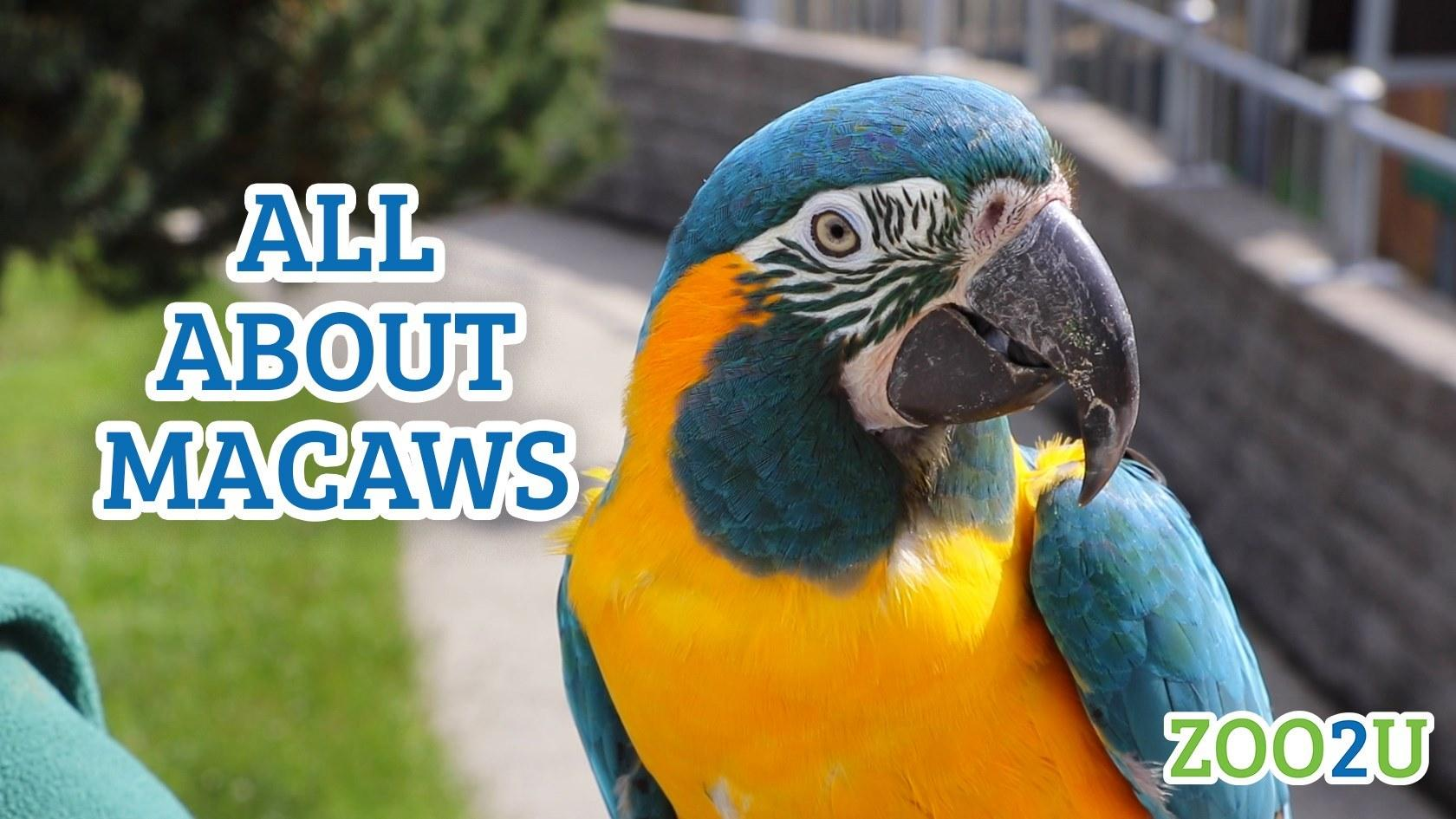 all about macaws button