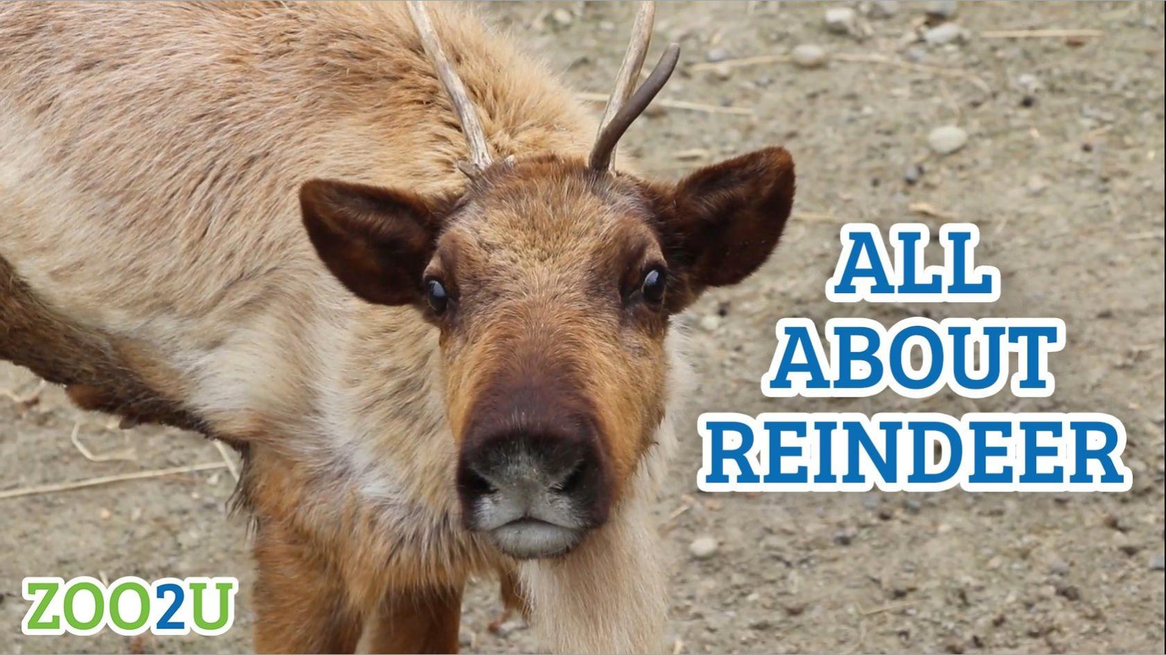 all about reindeer button