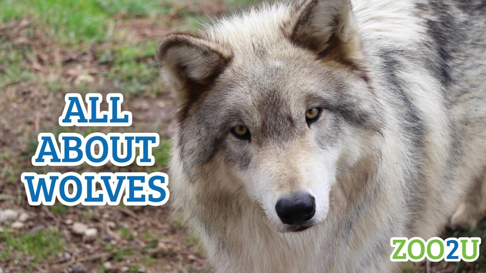 all about wolves button