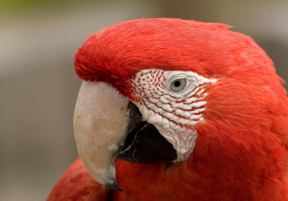 Green Winged Macaw Main