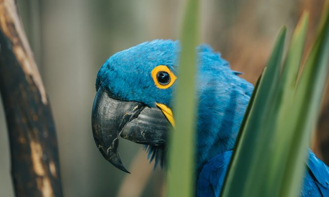 A hyacinth macaw standing behind some spiky foliage of a yucca-type plant