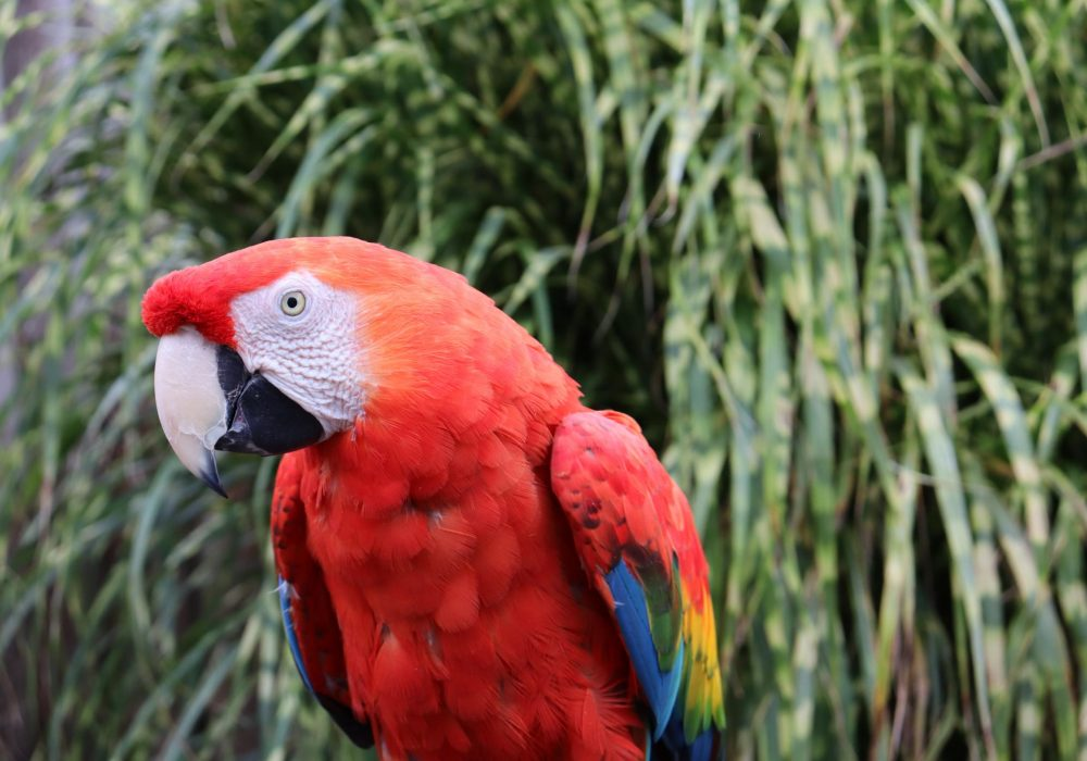 Scarlet Macaw Main