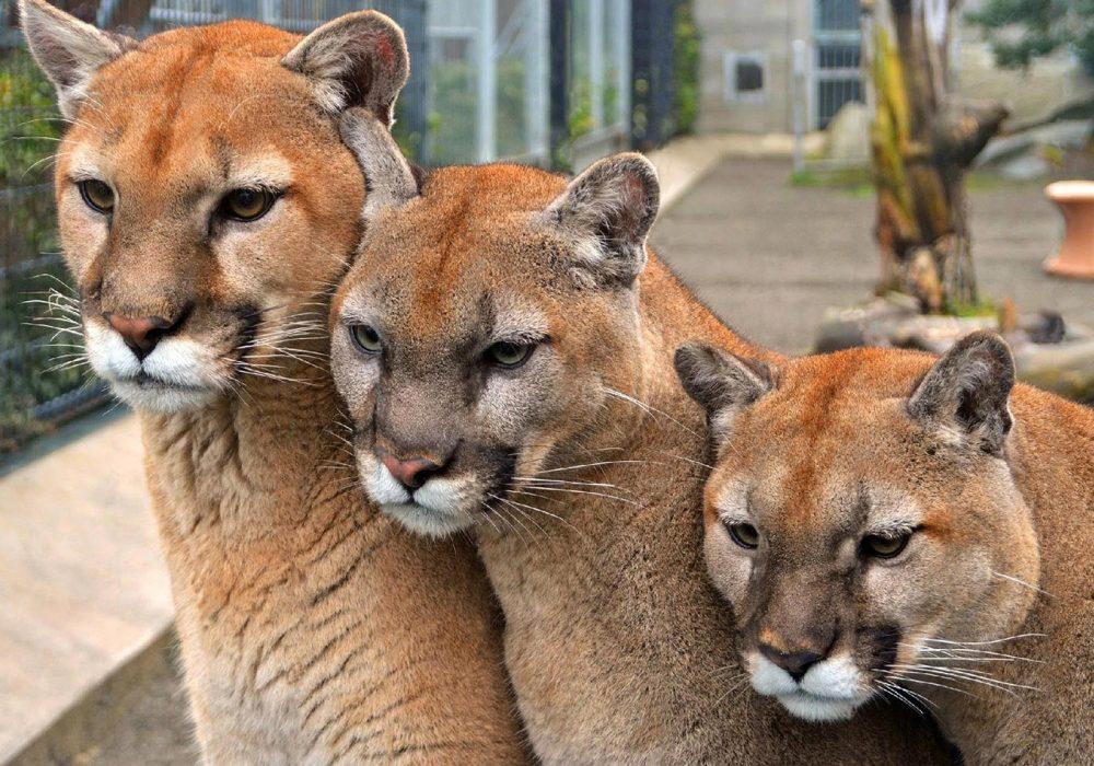 Cougar Mountain Zoo Three Cougars Header