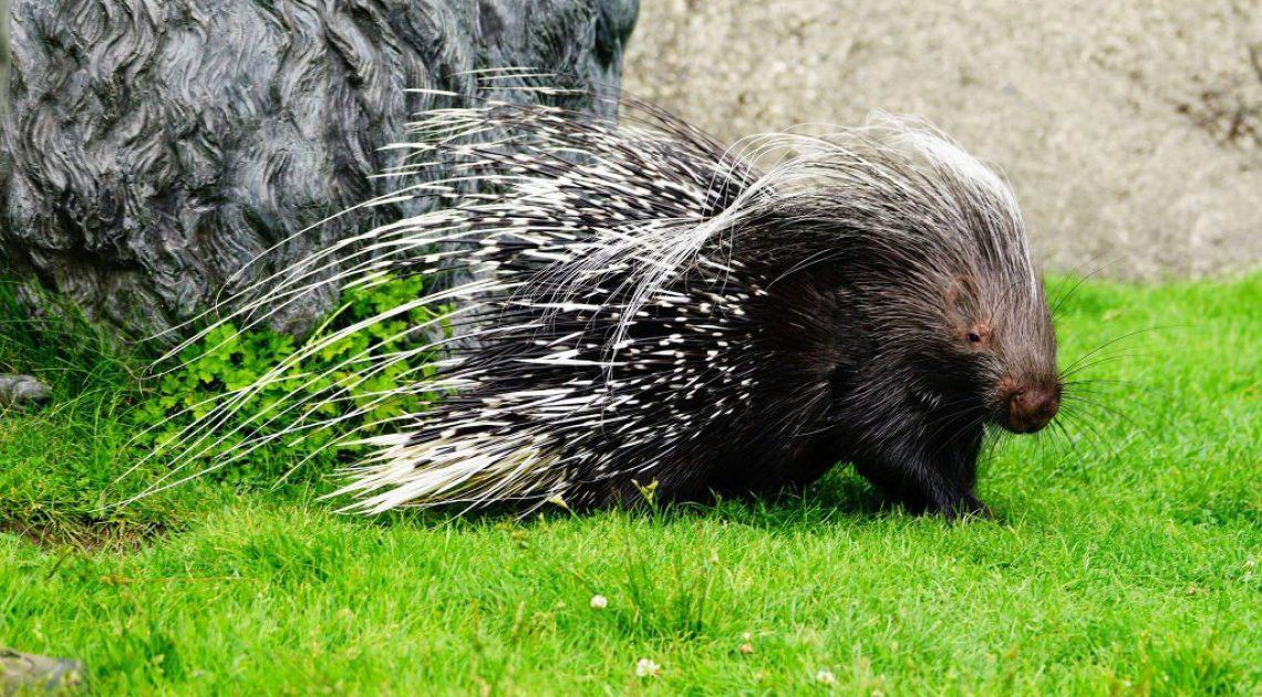 Zam the Porcupine