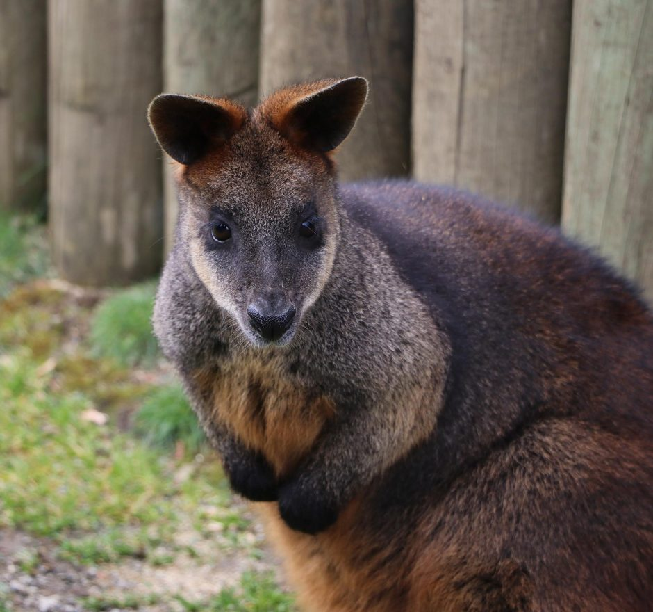 members-wallaby
