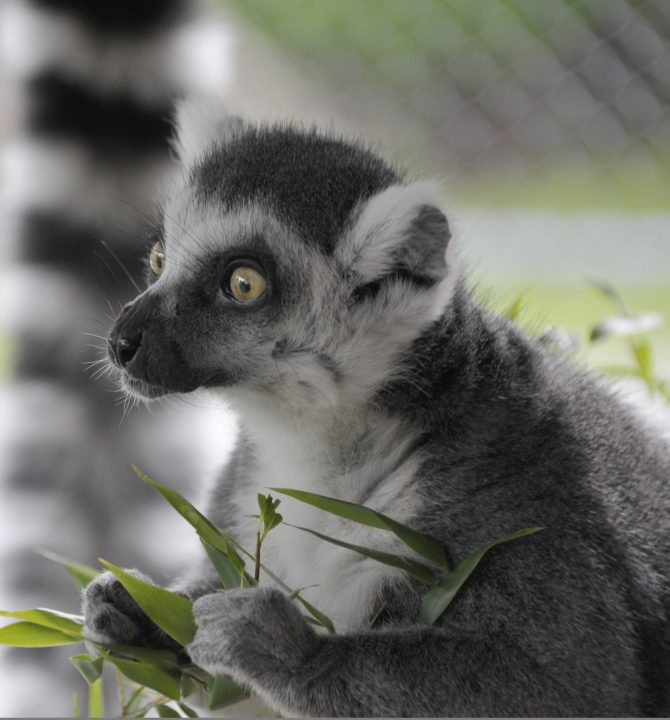 ring tailed lemur general info
