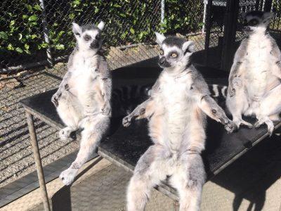 Volunteer Buddies Lemurs