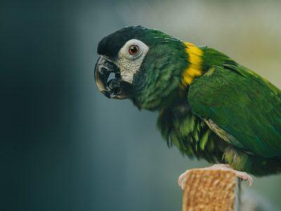 Volunteer Macaw