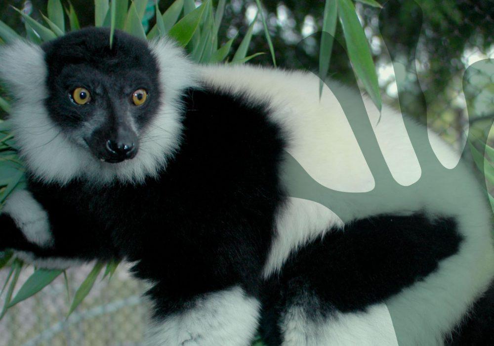 world-of-lemurs-black-and-white-ruffed-header