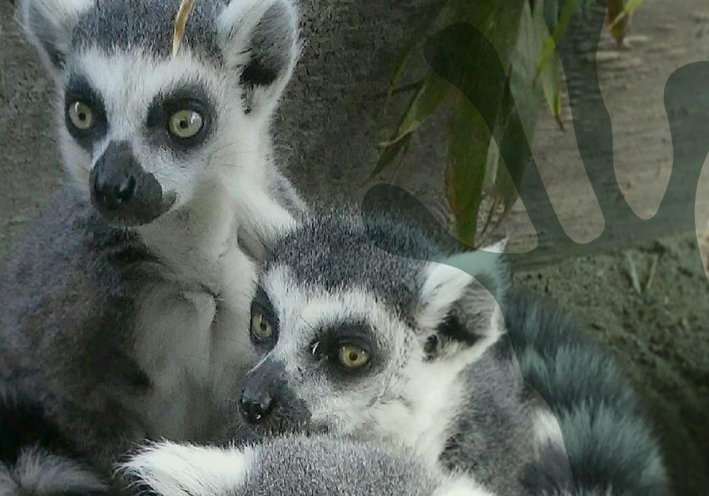 world-of-lemurs-ring-tailed-header