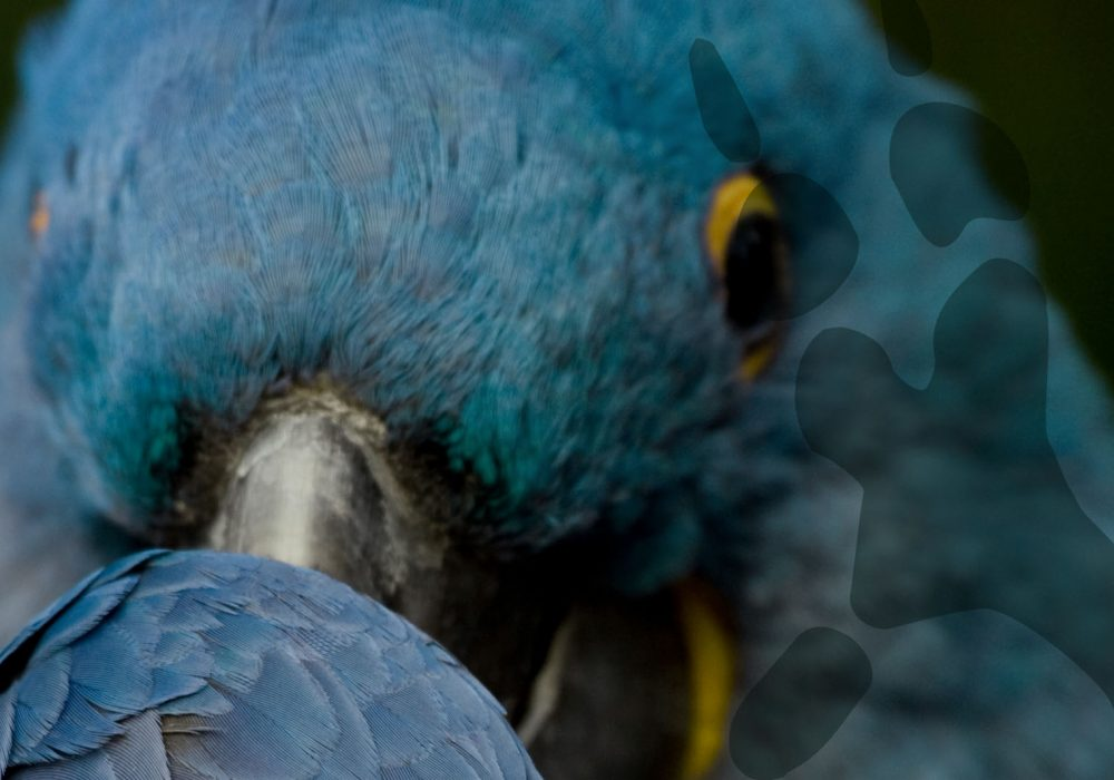 world-of-macaws---hyacinth-header