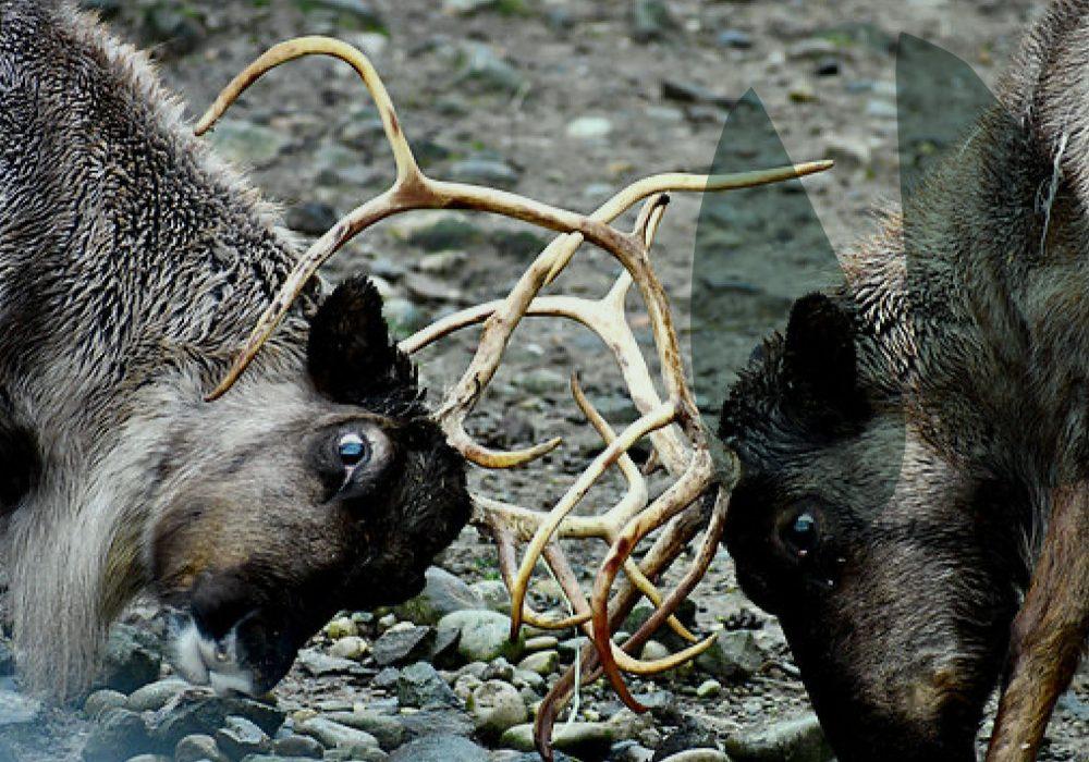 world-of-reindeer-header