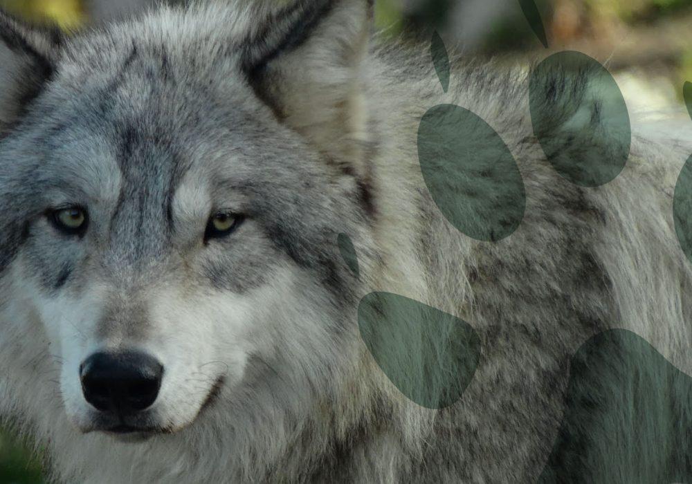 world-of-wolves-header